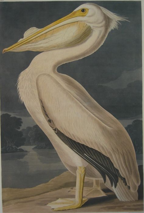Paintings Reproductions Audubon, John James American White Pelican